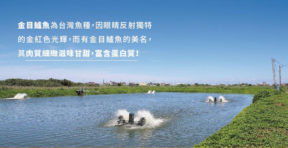 金目鱸魚為台灣魚種,肉質細緻滋味甘甜,富含維生素、蛋白質,營養滿分